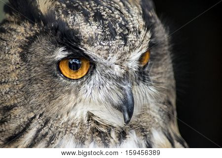 European eagle-owl shows his big orange eyes
