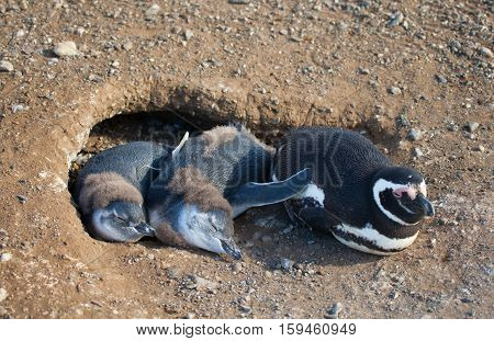 Magellanic Penguin And Its Nestlinsg In Their Barrow