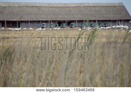 Geese Breeding In Hungary