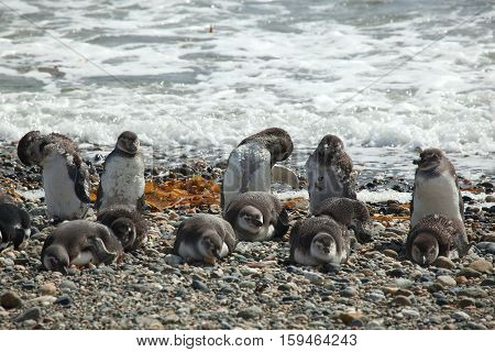 Colony Of Magellanic Penguins In Patagonia, South America
