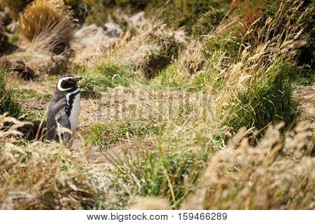 Magellanic Penguin In The Grass. Seno Otway, Patagonia, Chile