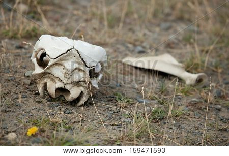 Guanaco Skull In Torres Del Paine National Park, Chile, South America