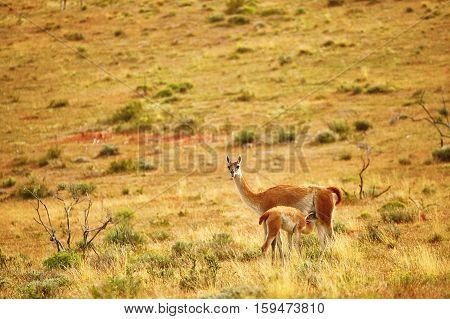 Mother Guanaco Feeding Its Baby