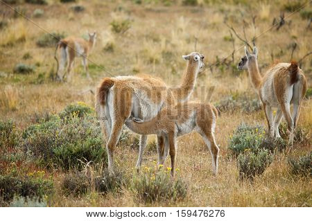 Mother Guanaco Feeding Its Baby. Torres Del Paine National Park, Patagonia, Chile