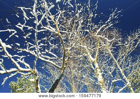 Trees in snow in the winter wood.Kroner of birches without leaves against the blue sky