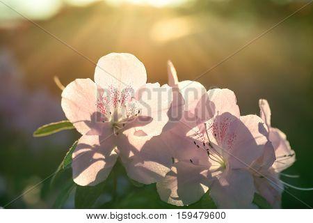 Spring Flowers Azalea In Sun Light