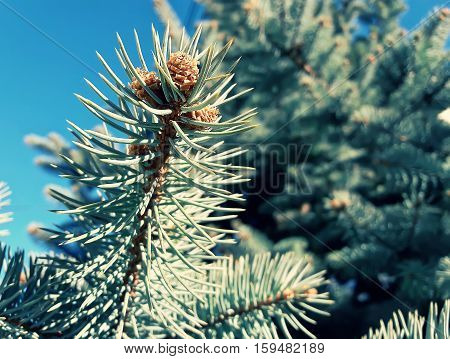 Small fir cones growing on the branch between the tree needles on a blue sky background.