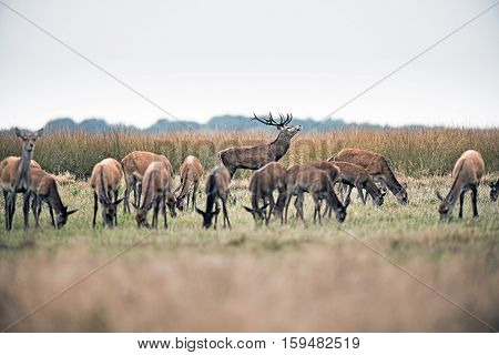 Roaring Red Deer Stag Standing Behind Herd Of Hinds. National Park Hoge Veluwe. The Netherlands.
