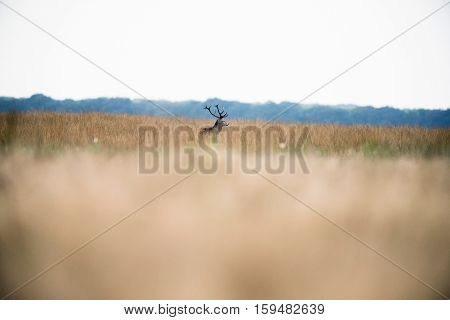 Solitary Red Deer Stag Standing In High Grass. National Park Hoge Veluwe. The Netherlands.
