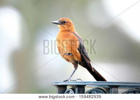 Small Northern mocking bird close up shot