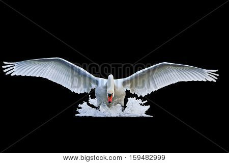 mute swan with open wings runs on water isolated on black, mute swan, spray water white bird