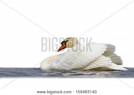 swan floating on water isd on white, mute swan, spray water white bird