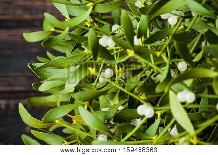 Green mistletoe close up. Nature background. Christmas plant