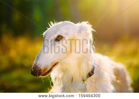 Close Up Of White Russian Hunting Dog, Sighthound, Russkaya Psovaya Borzaya, Psovoi In Sunset Sunlight