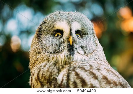 The great grey owl or great gray owl , Strix nebulosa, is very large owl. Wild bird. Close up head, face.