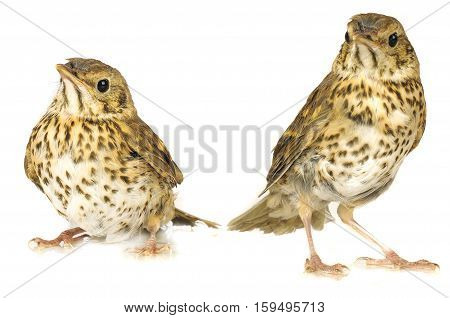two song thrush on a white background