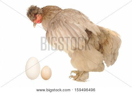 hen and eegs isolated on a white background