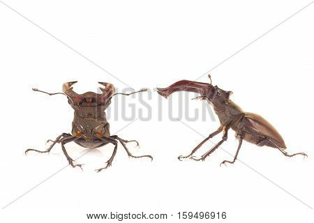 Stag beetle isolated on white a background