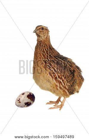 partridge and egg isolated on white background