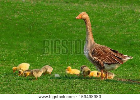 goose and gooses on a green background
