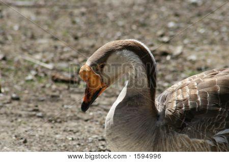 Goose In Contemplation