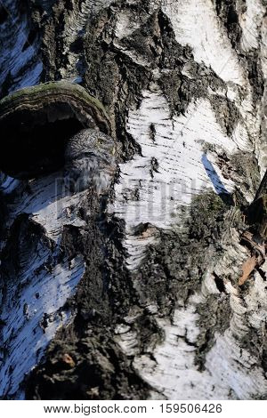 Pygmy Owl (Glaucidium passerinum) in the hollow of birch tree. Moscow Russia