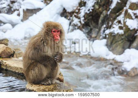 Snow monkey at a natural onsen (hot spring) located in Jigokudani Park Yudanaka. Nagano Japan.