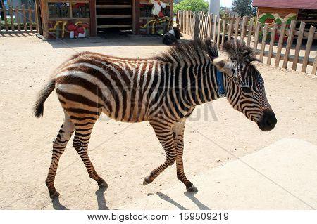Children Zebra in the paddock. Striped Zebra in the zoo open. Wild animals in captivity.