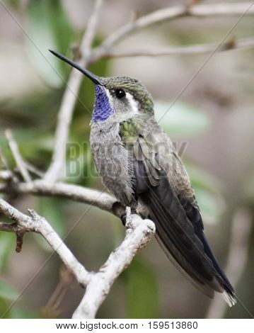 A Male Blue-throated Hummingbird or Blue-throated Mountaingem Perched on a Branch