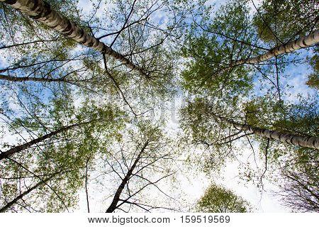 Birches / Birch taken from the bottom up.