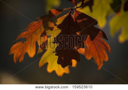 Leaves on a Tree Changing Color in the Autumn
