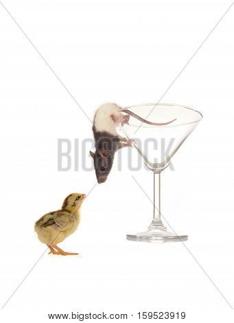 Rat and chick on a white background