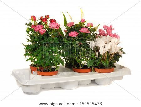 houseplant chopin in brown clay flowerpot isolated