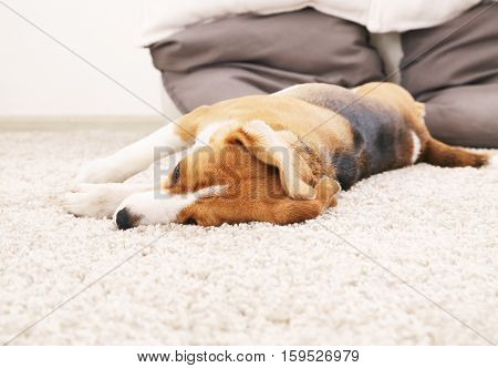 Dog lie on soft carpet. Beagle relax at home. Tree color beagle. Cute animal backgound.