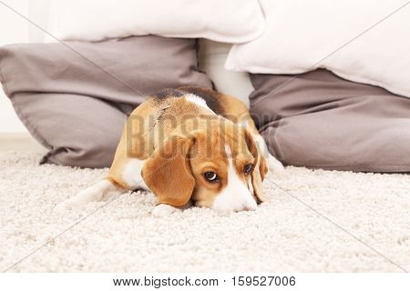 Sad beagle puppy on soft carpet. Dog play on floor. Beagle dog indoors. Color background with dog.