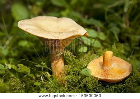 edible orange mushrooms (Lactarius deterrimus) in forest