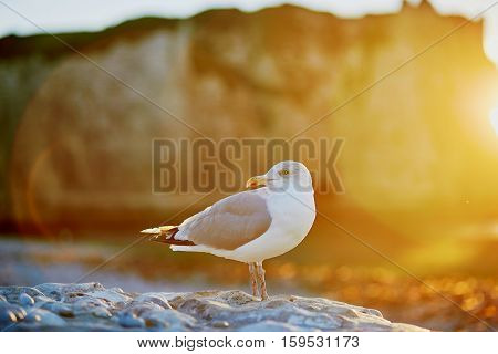 Sea Gull On A Rock