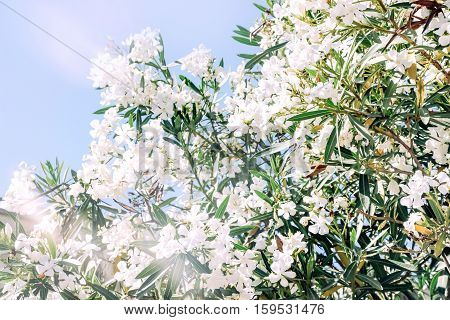 white oleander flower with green leaves in sunshine