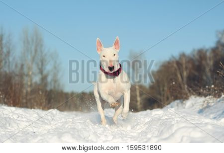 White English Bull Terrier on nature in the winter
