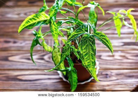 Nephthytis' beautiful leaves (Syngonium podophyllum angustatum) grown as house plants. Potted Syngonium plant on wooden background closeup selectiv focus Urban gardening home planting interior design