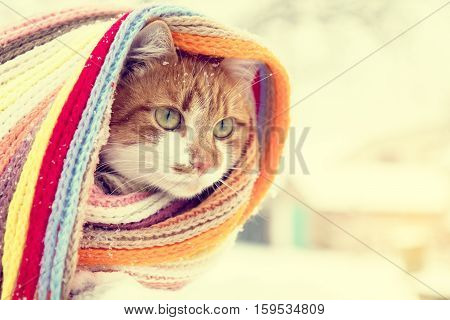 Red And White Kitty Cat In Checkered Scarf