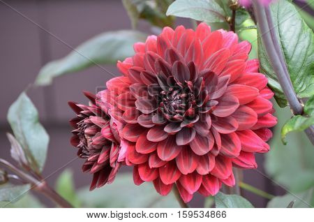 Very pretty blooming red dahlia flower blossom.