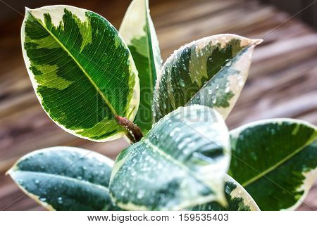 Potted ficus elastica plant, on a wooden background, closeup, selectiv focus. Urban gardening, home planting. Ficus tree houseplant. Concept image for interior design.