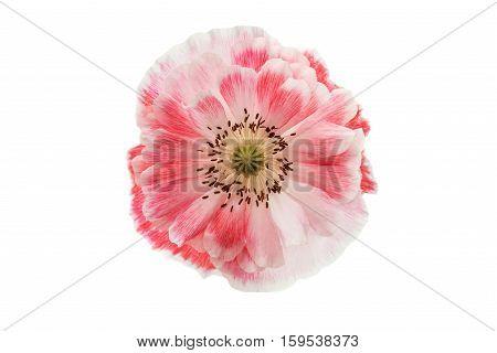 pink poppy flower on a white background