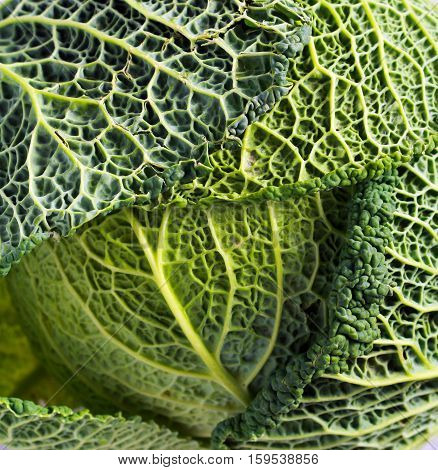 Raw Savoy cabbage close up background picture