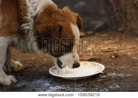 Dog drinking milk from bowl. Clouse up