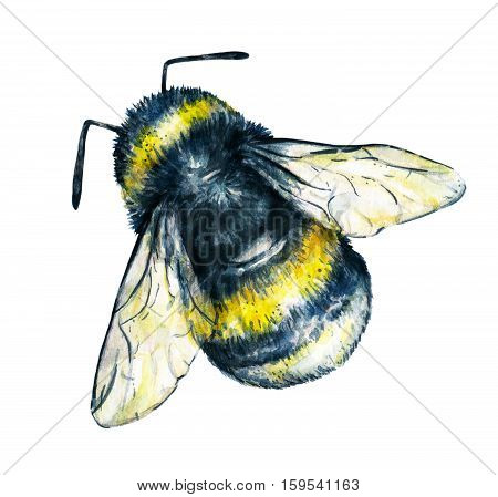 Bumblebee on a white background. Watercolor drawing. Insects art. Handwork