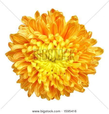 Chrysanthemum - 1