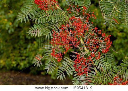 Rowan Berries, Mountain Ash Sorbus Roadside Tree