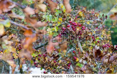 Ripe Red Fruit Of Hawthorn Berries On Brunches